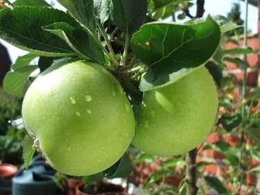 apple.jpg - 15.27 kB