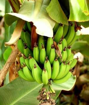 bananas_2.jpg - 16.73 kB
